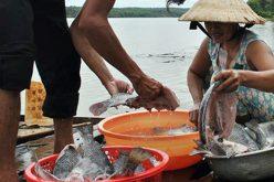 Hàng chục tấn cá nuôi chết trắng ở Bình Phước