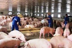 Gần Tết Mậu Tuất 2018: Thương lái ép giá nông dân vì nguy cơ thừa lợn