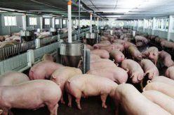 """Giá lợn hơi giảm mạnh, nhiều hộ chăn nuôi """"treo"""" chuồng"""