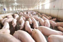 Giá lợn tăng mạnh, do đâu?