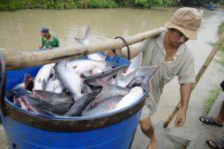Trung Quốc vẫn là thị trường tiềm năng cho xuất khẩu cá tra