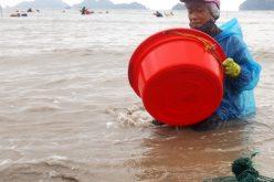 Người dân Hải Phòng đổ xô xuống biển bắt con mỏ vịt