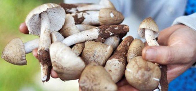"""Thị trường 24h: Sốt nấm đặc sản bạc triệu """"hiếm có khó tìm"""""""