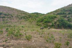 """Dự án nuôi bò 4.500 tỷ """"đổ bể"""": Trồng cỏ nuôi bò chỉ đạt năng suất 1/5 khi lập dự án"""