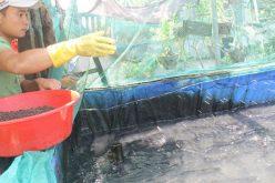Triệu phú cá lóc