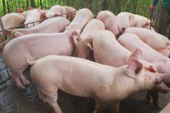 Giá thịt lợn xu hướng giảm
