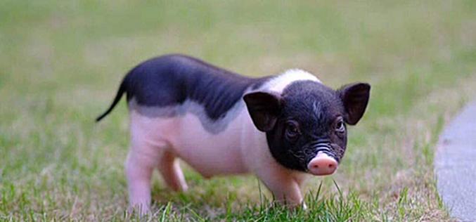 Thị trường 24h: Lo ngại dịch bệnh, khách hàng ùn ùn hủy đơn mua lợn mini