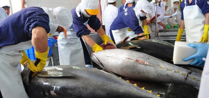 Xuất khẩu cá ngừ vào Mexico hưởng lợi từ thuế