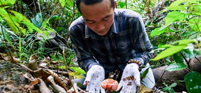 Thị trường 24h: Đặc sản nấm lim xanh giá vài triệu đồng/kg