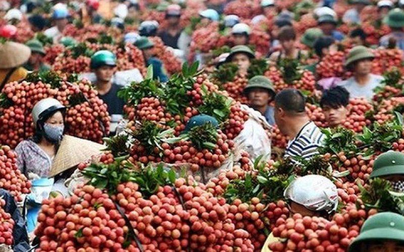 Thương nhân Trung Quốc ùn ùn tới vựa vải thiều lớn nhất Việt Nam