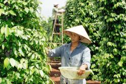 Giá hạt tiêu giảm mạnh, nông dân chuyển sang trồng tiêu hữu cơ phục vụ thị trường cao cấp