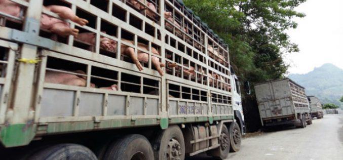 30% doanh thu đến từ lợn giống, lợn thịt, Dabaco hưởng lợi khi giá lợn phục hồi