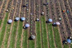 Giá giảm nhanh, người trồng kiệu miền Tây vội thu hoạch, bán tháo